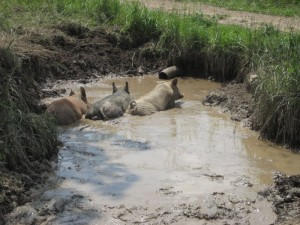 Piggies in a Puddle