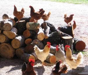 Free-Run Chicken