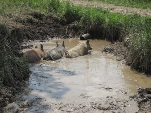 Pastured Pork in a Puddle